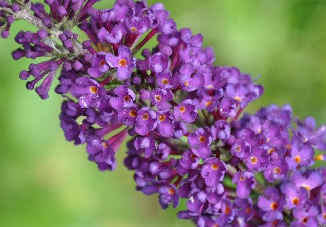 La pianta che attira le farfalle – buddleja