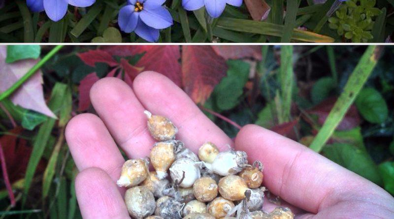 Una stella blu in giardino per la primavera – Ipheion Rolf Fiedler