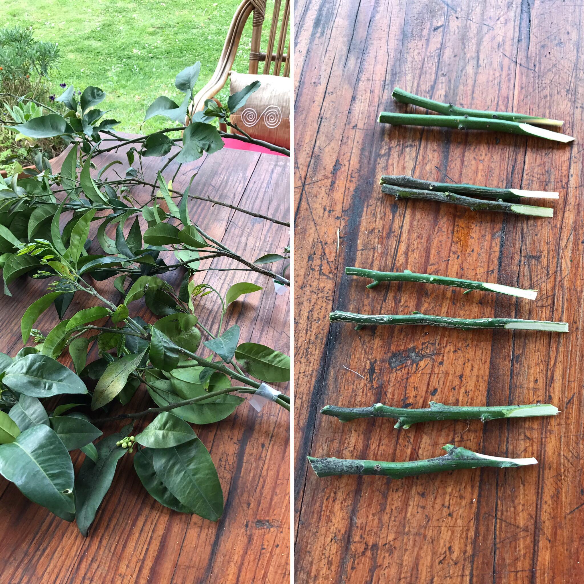 Quattro agrumi in uno come eseguire un innesto a spacco for Periodo potatura limone